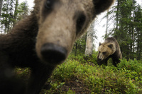 Live 'Bearcam' launches in Finland