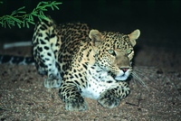Leopard and Blue Whale safaris in Sri Lanka