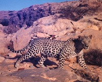 Be a part of big cat conservation in Oman