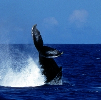 Azores Expedition - Biosphere Expeditions - Humpback Whale