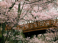 Adventures in blossoming Japan