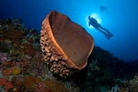 A huge barrel sponge