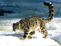 Snow leopard - copyright of Biosphere Expeditions