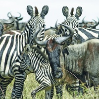 Masai Mara Annual Migration