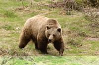Last chance to walk with bears in Slovakia