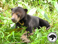 Unique Borneo trip aims to protect little known Sun Bear