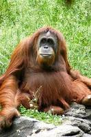 Get up close to Borneos Orangutans