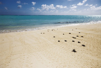 Watch Turtles nest on Australia's Heron Island