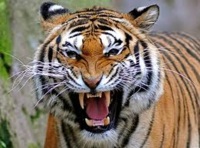 Tiger reserves re-open to families in time for Christmas
