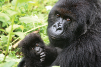 Intrepid to run special tour to see Rwandan gorilla-naming
