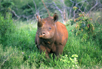 Once in a lifetime opportunity to participate in rhino conservation