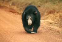 Sloth Bears of Sri Lanka prepare to feast in Yala National Park