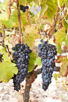 The ancient art of desiccation in award winning Shiraz