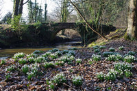 Scottish Snowdrop Festival returns