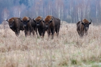 Unique opportunity to see Bison 'Rewilding' in Romania