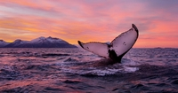 Enjoy a whale safari and the Northern Lights