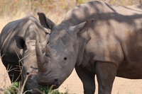 Share & Save Rhinos with Acacia Africa