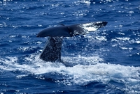 Have a whale of a time in Dominica