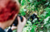 Capturing the gorillas on camera in Uganda (Acacia Africa)