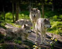 Wolves at the Bushcraft Show